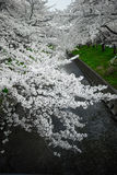 Japan Snowy White Sakura Stock Photo