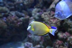 Japan surgeonfish Arkivfoton