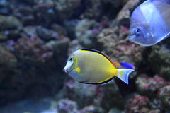 Japan surgeonfish Stock Photos