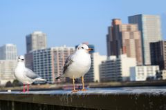 Two Seagulls play around Sumida river in Tokyo bay. In Japan Tokyo bay, Sumida river goes cross the city, there are some bridges connected the city, a lot of Royalty Free Stock Image