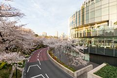 Japan. Tokyo. Sakura blossom in the center of Tokyo. Japan. Tokyo. Sakura blossom in a city park. Sakura blossom on the background of a modern business center royalty free stock photography