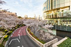 Japan. Tokyo. Sakura blossom in the center of Tokyo. Japan. Tokyo. Sakura blossom in a city park. Sakura blossom on the background of a modern business center royalty free stock photo