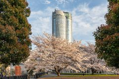 Japan. Tokyo. Sakura blossom in the center of Tokyo. Japan. Tokyo. Sakura blossom in a city park. Sakura blossom on the background of a modern business center royalty free stock images