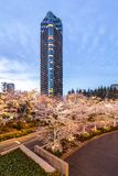Japan. Tokyo. Sakura blossom in the center of Tokyo. Japan. Tokyo. Sakura blossom in a city park. Sakura blossom on the background of a modern business center stock photos