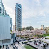 Japan. Tokyo. Sakura blossom in the center of Tokyo. Japan. Tokyo. Sakura blossom in a city park. Sakura blossom on the background of a modern business center royalty free stock photos