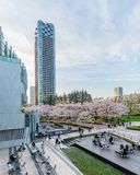 Japan. Tokyo. Sakura blossom in the center of Tokyo. Japan. Tokyo. Sakura blossom in a city park. Sakura blossom on the background of a modern business center stock image