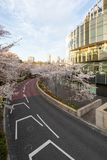 Japan. Tokyo. Sakura blossom in the center of Tokyo. Japan. Tokyo. Sakura blossom in a city park. Sakura blossom on the background of a modern business center stock photo