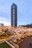 Japan. Tokyo. Sakura blossom in the center of Tokyo. Japan. Tokyo. Sakura blossom in a city park. Sakura blossom on the background of a modern business center stock images