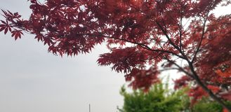 Japan tree is the peace on the earth. stock photo