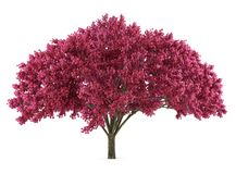 Japan tree sakura isolated. Prunus cerasus Royalty Free Stock Photography