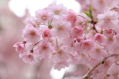 Japan vår Royaltyfri Fotografi