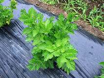 Japan of vegetables named Ashitaba. Green leaves of Angelica keiskei Ashitaba in japanese Stock Images
