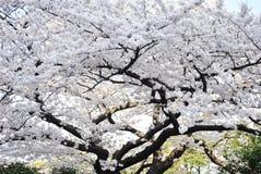 Japan vit Sakura Royaltyfri Fotografi