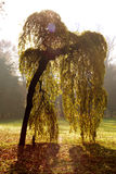 Japan weeping willow. A Japan weeping willow in Monza park - Italy Royalty Free Stock Images
