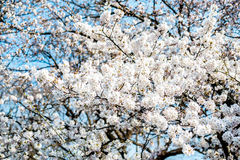 Japan White Sakura Royalty Free Stock Photo