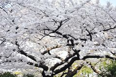 Japan White Sakura Royalty Free Stock Photography