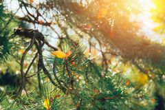 Japan wood forest pine tree with morning light sunshine. Japan wood forest pine tree in Autumn Fall season with morning light sunshine Stock Photos
