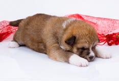 Japaner-Akita--inuwelpenschlaf über Weiß Stockfotos