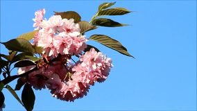 Japaner Cherry Tree Blossoms stock video footage