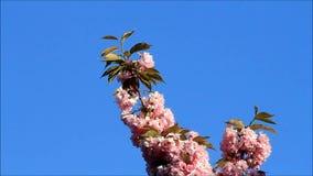 Japaner Cherry Tree Blossoms stock footage