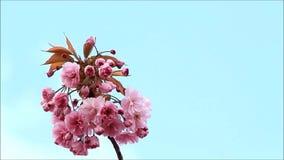 Japaner Cherry Tree Blossoms stock video