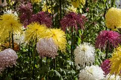 Japaner Chrysanthemus-Blumen Stockfoto