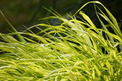Japaner Hakone-Gras Lizenzfreies Stockfoto