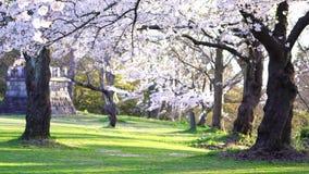 Japaner Kirschblüte stock video footage