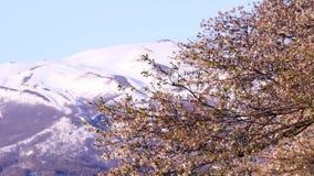 Japaner Kirschblüte stock footage