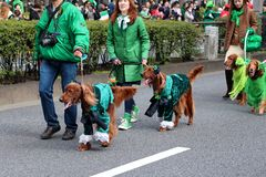 Japaner mit ihren Irischen Settern für St Patrick Tagesfeiern Stockbild