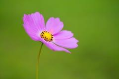 Japaner Poppy Flower Lizenzfreies Stockbild