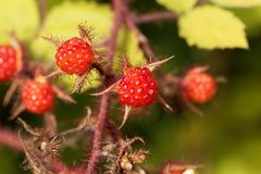 Japaner Wineberry-Rubus phoenicolasius Stockfotografie