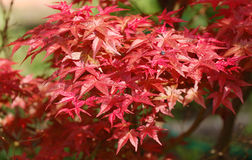 Japanes maple Stock Images