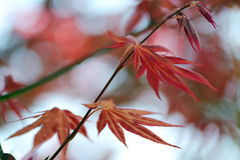 Japanes maple leaf with shallow depth of focus Stock Image