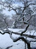 Japanes maple winter Stock Images