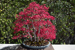 Japanese acer bonsai Royalty Free Stock Photos