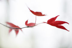 Japanese acer red acer leaves Royalty Free Stock Photo