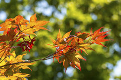 Japanese acer yellow Stock Photography