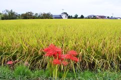 Rice cultivation. Japanese agricultural landscape / Rice cultivation royalty free stock photography