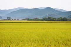 Rice cultivation. Japanese agricultural landscape / Rice cultivation royalty free stock photo