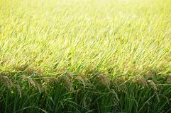 Rice cultivation. Japanese agricultural landscape / Rice cultivation stock photo