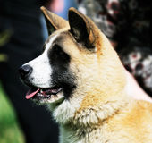 Japanese Akita dog. Outdoor portrait over blurry background royalty free stock photography