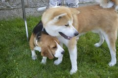 A Japanese Akita dog and a beagle dog royalty free stock photography