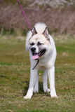 Japanese Akita dog Stock Photography