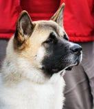 Japanese Akita dog portrait Royalty Free Stock Photography