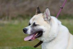 Japanese Akita dog Stock Photography