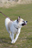 Japanese Akita dog Royalty Free Stock Photo