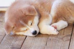 Japanese akita-inu breed sleeping puppy Royalty Free Stock Photos