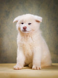 Japanese Akita Inu Dog portrait Stock Image