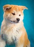 Japanese Akita Inu Dog portrait Stock Images